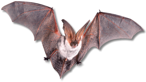Bat Removal Service Knoxville TN