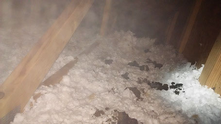 Attic damage caused by raccoons