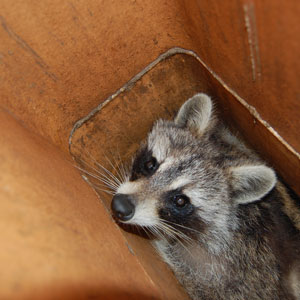 Raccoon being removed from Home in Knoxville