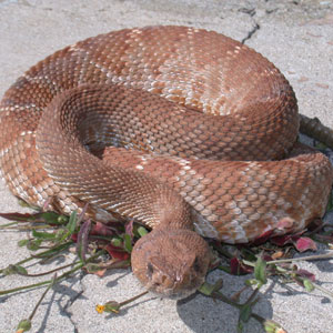 Copperhead Snake in Driveway in Knoxville