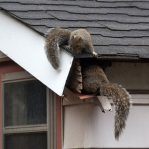 Squirrels damaging gutters in Knoxville