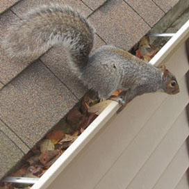 Squirrel on Roof in Knoxville